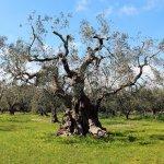 Ulivi-secolari-Alessano