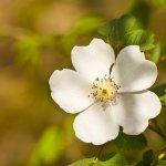 masullas in fiore