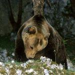 pizzone-orso marsicano