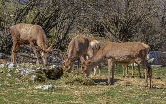 Cervara-di-Roma-locPrataglia-area-faunistica-del-cervo
