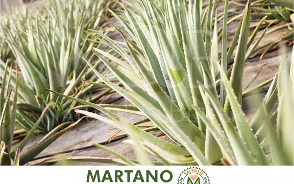Martano-citta-dell-aloe
