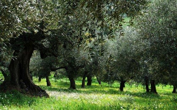 Moscufo-oliveti