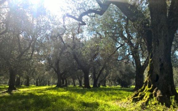 Nociglia-paesaggio-olivi