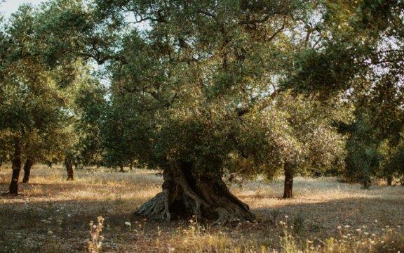 olivo-monumentale-sannicandro-di-bari