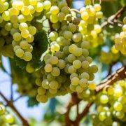 Maruggio-Borghi-Autentici-uva-bianca