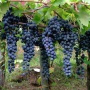 Tramonti-Borghi-Autentici-vitigno-Tintore
